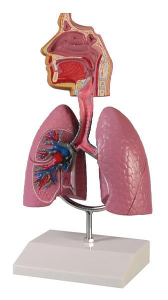 G216 - Lidské dýchací ústrojí