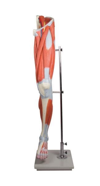 M220 - Svaly lidské nohy, 13 částí