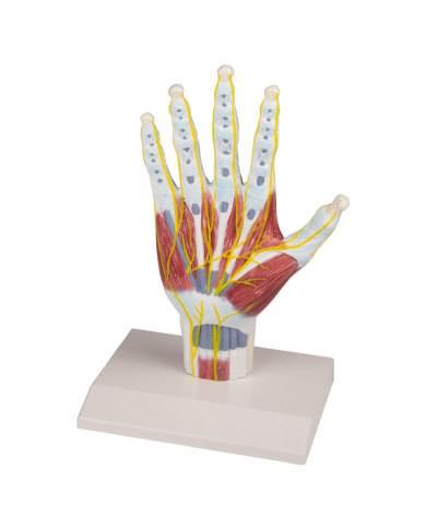 M260 - Model anatomické struktury ruky