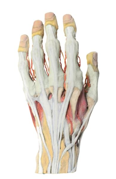 MP1530 - Anatomie ruky