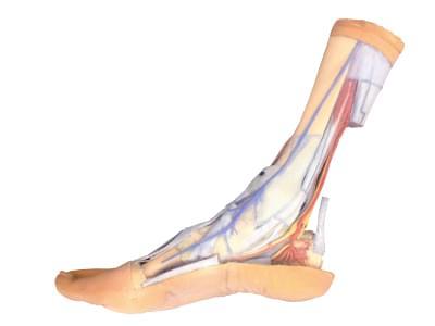 MP1930 - Povrchová a hluboká struktura chodidla a distálního konce nohy