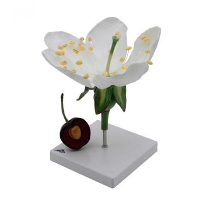 T21019 - Třešňový květ s plodem