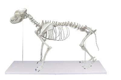 VET1700 - Kostra psa, životní velikost