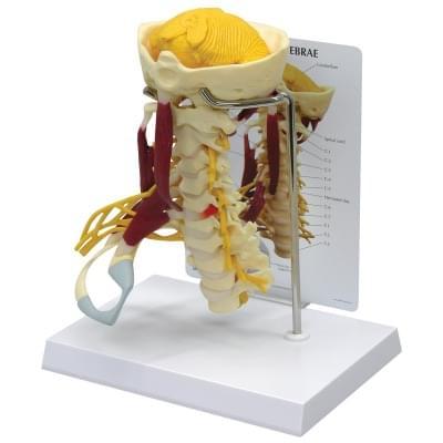 W47853 - Luxusní model krční páteře se svaly